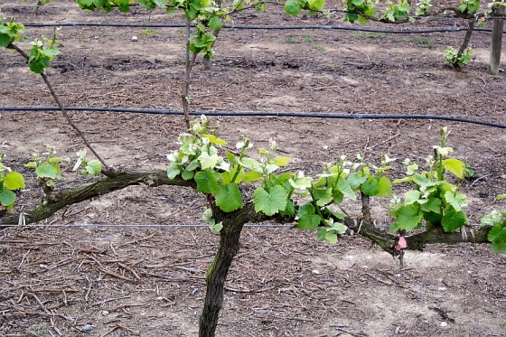 The delayed vine growth with the cooler Casablanca Valley climate compared to the warmer Aconcagua Valley