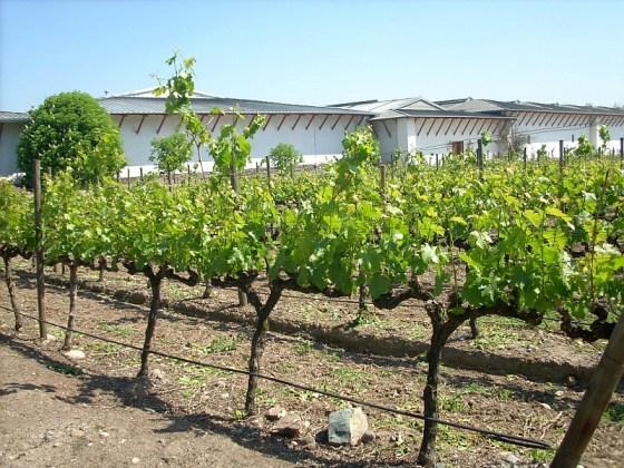 The vines in spring at Viña Santa Rita