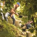 Harvest in the Conegliano Valdobbiadene appellation (Picture courtesy Consorzio di Tutela del Conegliano Valdobbiadene Prosecco DOCG)