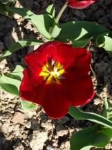 Tulipe-Mania (112)