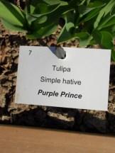 Tulipe-Mania (113)