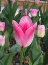 Tulipe-Mania (132)