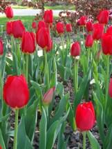 Tulipe-Mania (138)