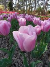 Tulipe-Mania (14)