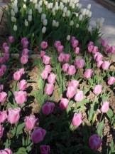 Tulipe-Mania (142)