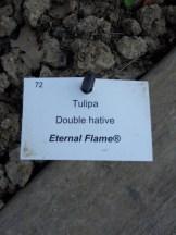 Tulipe-Mania (162)