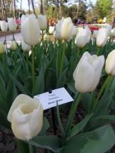 Tulipe-Mania (17)