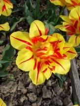 Tulipe-Mania (180)