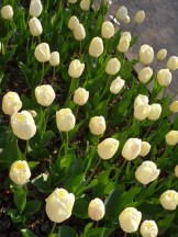 Tulipe-Mania (187)