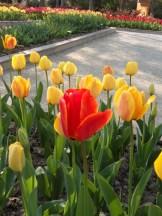 Tulipe-Mania (198)