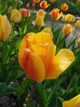 Tulipe-Mania (199)