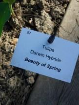 Tulipe-Mania (202)