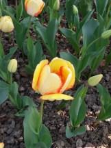 Tulipe-Mania (203)