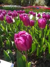Tulipe-Mania (21)