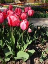 Tulipe-Mania (213)