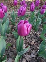 Tulipe-Mania (215)