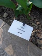 Tulipe-Mania (4)