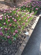 Tulipe-Mania (41)