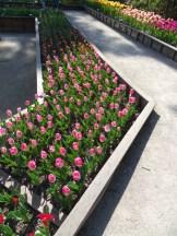 Tulipe-Mania (53)