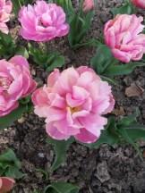 Tulipe-Mania (56)