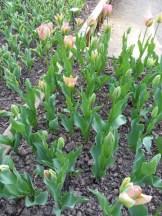 Tulipe-Mania (62)