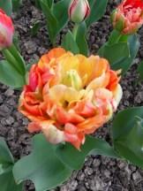 Tulipe-Mania (64)