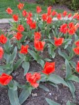 Tulipe-Mania (8)