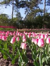 Tulipe-Mania (82)