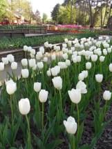 Tulipe-Mania (88)