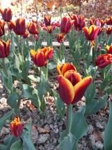 Tulipe-Mania (9)