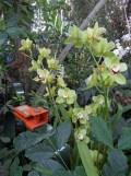 1001 Orchidées .. (16)
