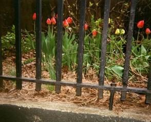 (c) Tamara Beck: April Tulips