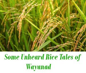Rice of Wayanad