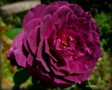 Grows up to 3 feet tall; purple but turns red purple under the sun; fragrant