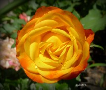 2-3 inches blooms; yellow and orange, fades to pink and white; 3 feet bush plant