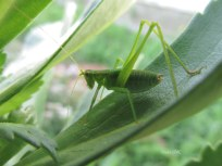 This grasshopper is relatively. Its body is about an inch long.