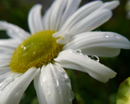 Dew on the Daisy