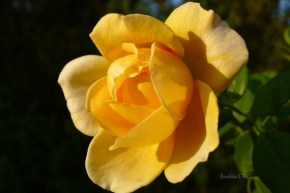 Yellow is always a delight - especially with roses.