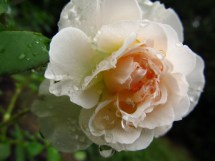 Mary Magdalene Rose