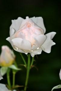 Magdalene Rose