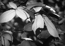 Beech Leaves BW