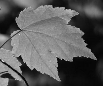 Leaf BW