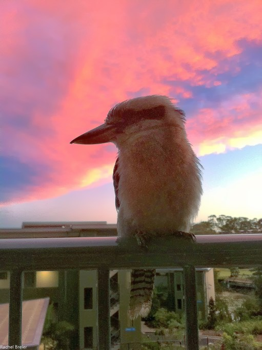 Under a beautiful pink sunset, we were greeted by a friendly baby Kookaburra perched on the balcony!