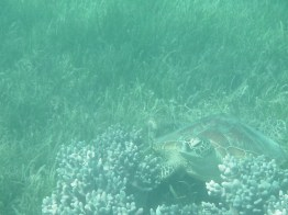Great Barrier Reef - Turtle at Green Island