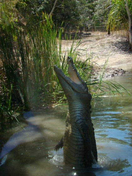 Jumping Croc on the Lagoon