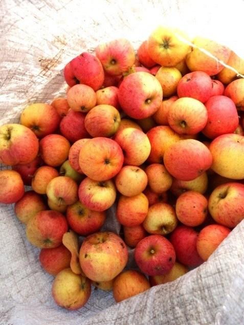 Apfelernte, Äpfel