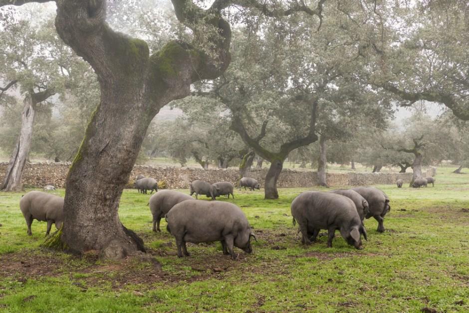 Iberische Schweine im Eichelwald