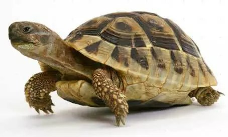 HOW THE TORTOISE BECAME BALD 1