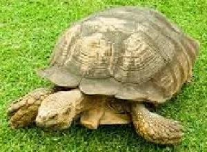 MEET ALAGBA: KING SOUN OF OGBOMOSO'S WORLD OLDEST TORTOISE (IJAPA) 1