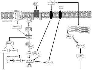 How We Grow: Anabolic Signaling Mechanisms, Part 1